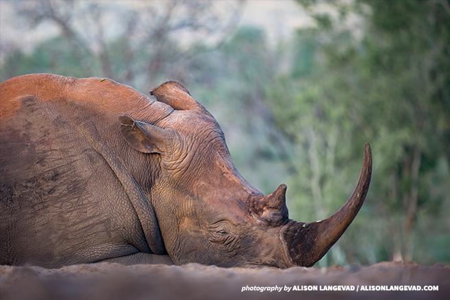 A white rhinoceros lying down