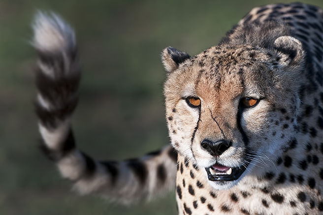 A Scarred Male Cheetah