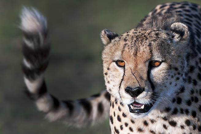 A Scarred Male Cheetah