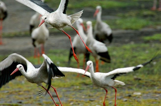 White stork. Photo by Alejandro Tawil