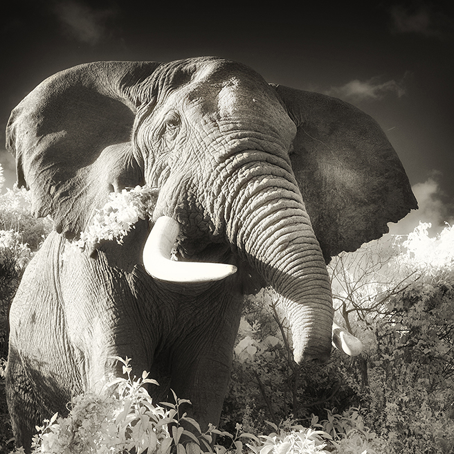 A Bull Elephant with an Abbreviated Trunk
