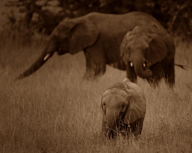 Elephants and calf in the Serengeti