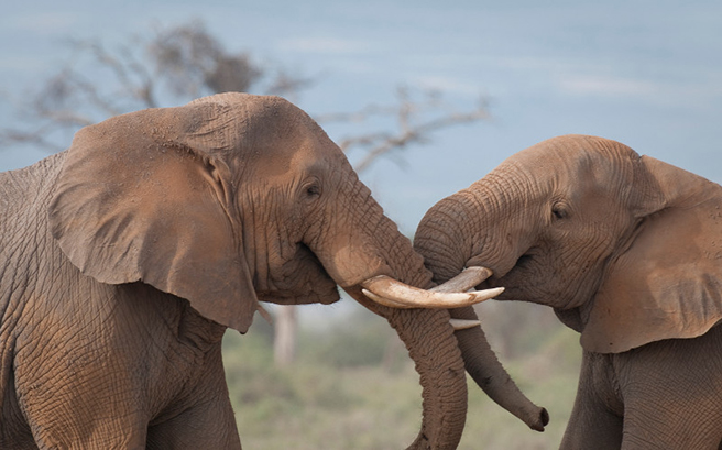 Elephants with trunks intertwined. Photo: Barbara von Hoffman