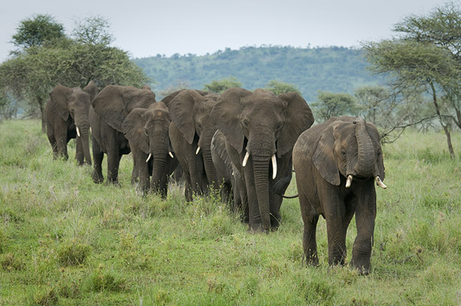African elephants marching across the savanna