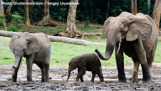 Despite years of heavy poaching, Bili-Uele has a very important population of forest elephants.