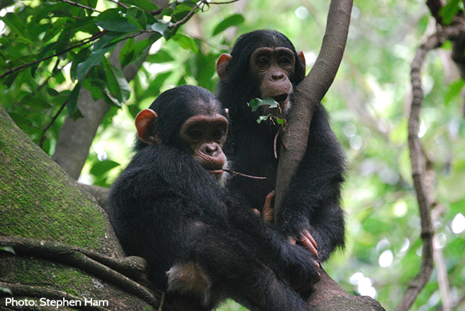 It was recently discovered that Bili-Uele harbours the largest population of eastern chimpanzees.