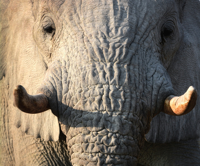 Elephant tusk close up. Photo by Billy Dodson