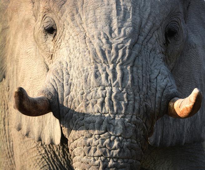 Elephant tusk close up. Photo by Billy Dodson