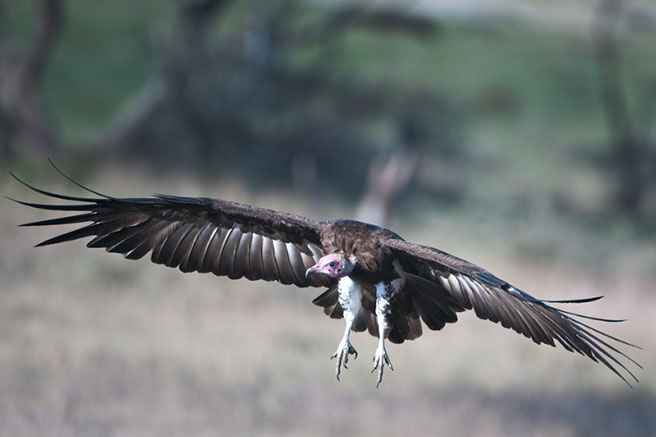 Vulture in mid flight in Tanzania. Photo by Billy Dodson