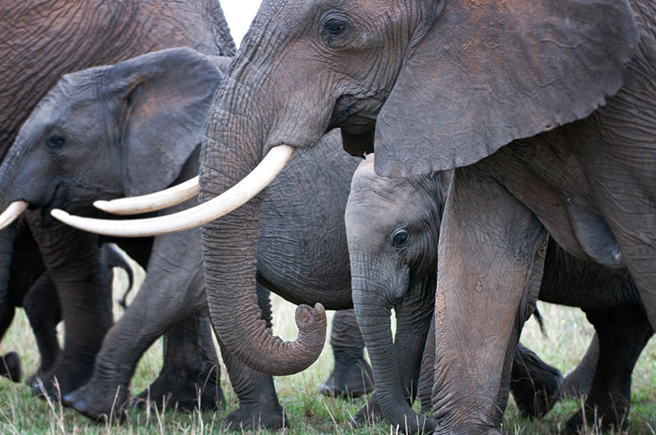 Elephants in Amboseli. Photo by Billy Dodson