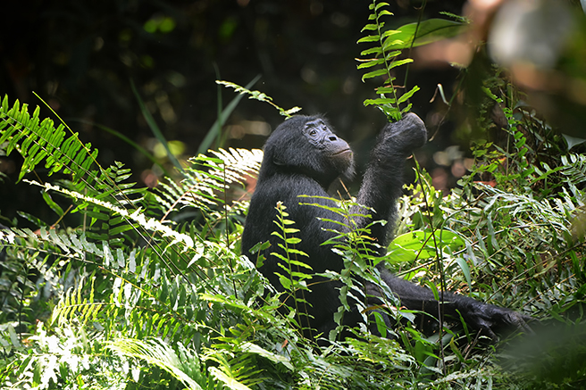 Bonobo Trekking in the Iyondji Reserve