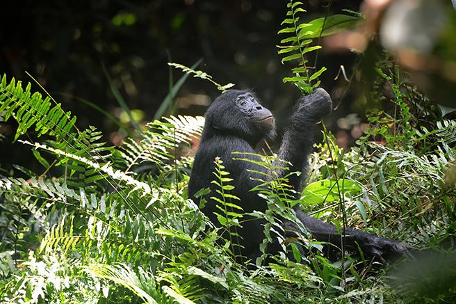 Bonobo Trekking in the Iyondji Reserve