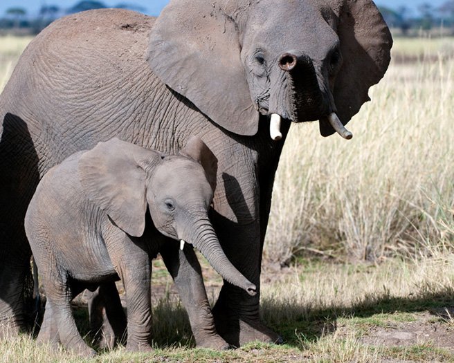 Elephant mother and calf in Amboseli. Photo by Billy Dodson