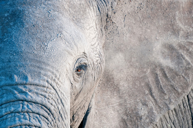 Close up of the eye of an Amboseli elephant. Photo by Billy Dodson