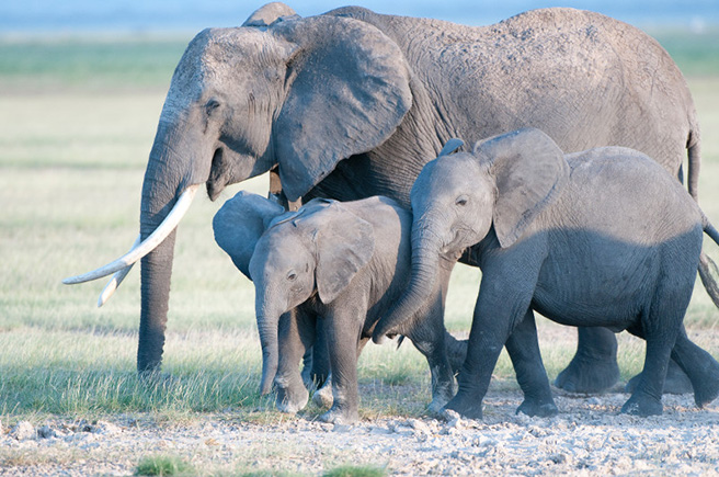 A family of elephants in Amboseli. Photo by: Billy Dodson