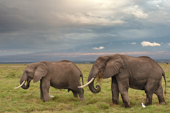 Kenya's elephants travel through Amboseli as they move between parks. Photo by: Billy Dodson