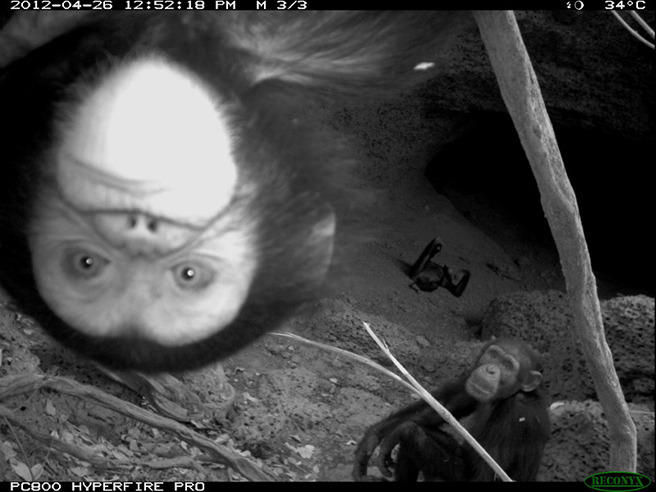 Chimps caught on camera traps in Senegal.