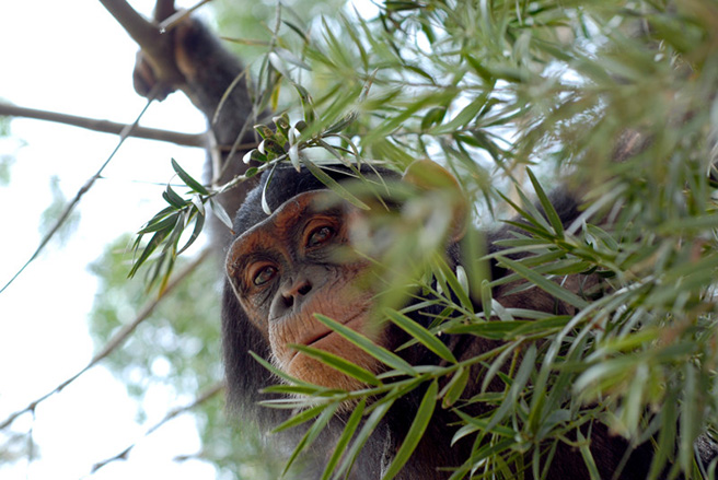 Chimpanzee hiding in a tree in Uganda