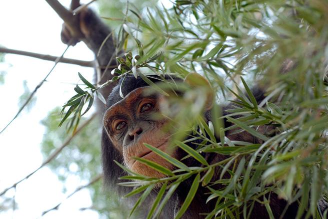 Chimpanzee hiding in a tree in Uganda