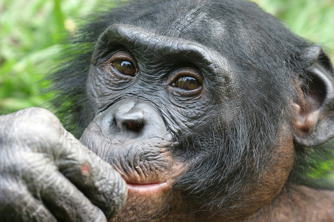 Bonobo in the Congo. Photo by Craig Sholley