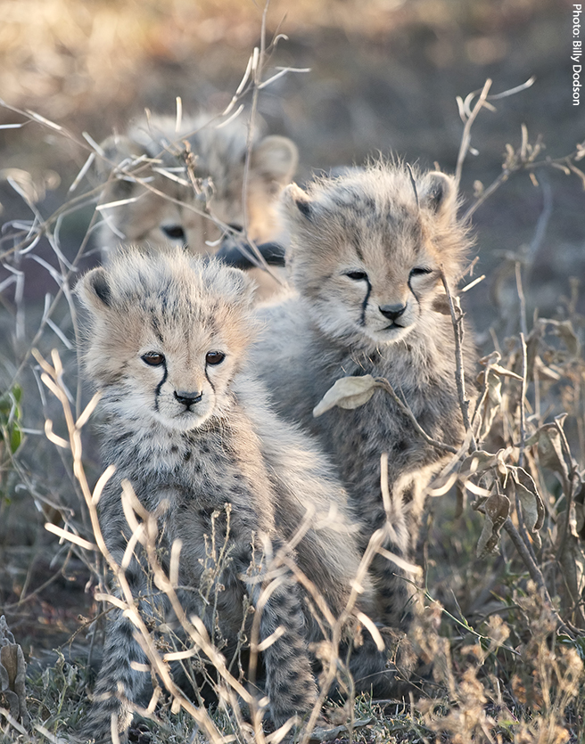 Three Cheetah Babies at Ndutu in the southern Serengeti