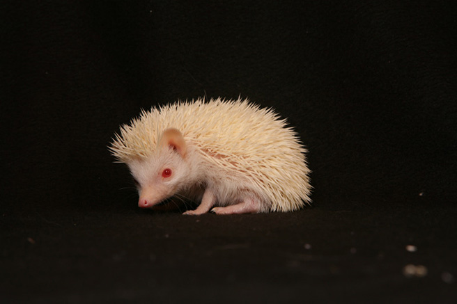 African albino hedgehog. Photo by Denis Carl