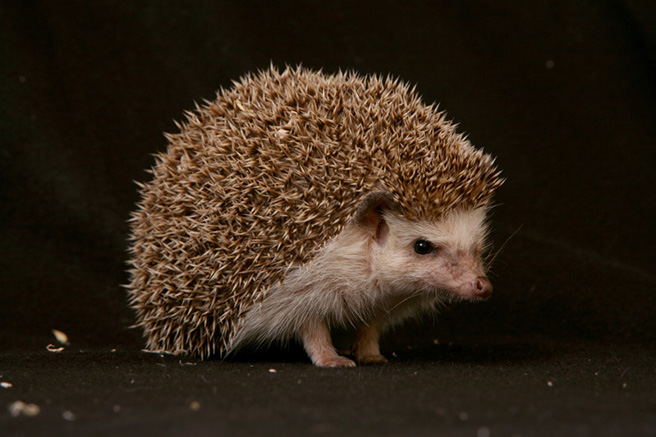African hedgehog. Photo by: Denis Carl