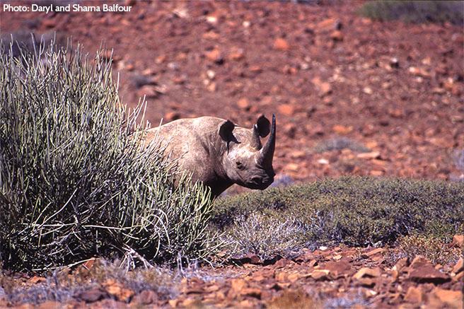 Protecting Namibia's Desert-Adapted Rhino