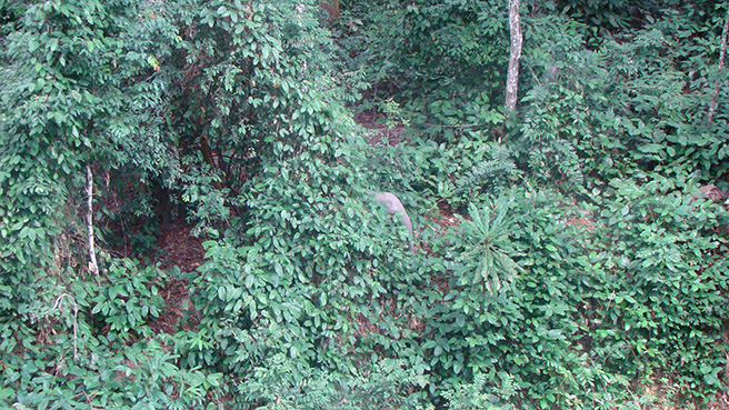 A female forest elephant shows how well she can hide in forest vegetation.