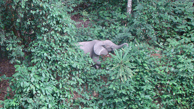 The same female forest elephant continues to hide in the forest vegetation.