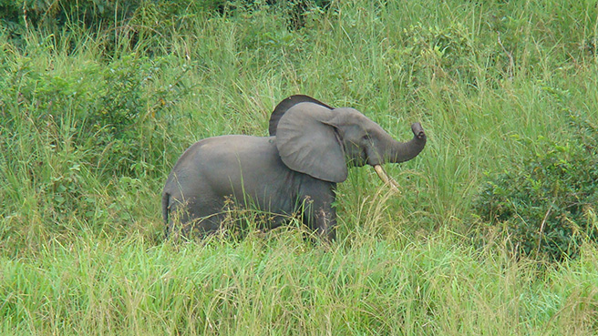 Ned, a male forest elephant, is characterized by a middle right ear tear and a high left ear hole.