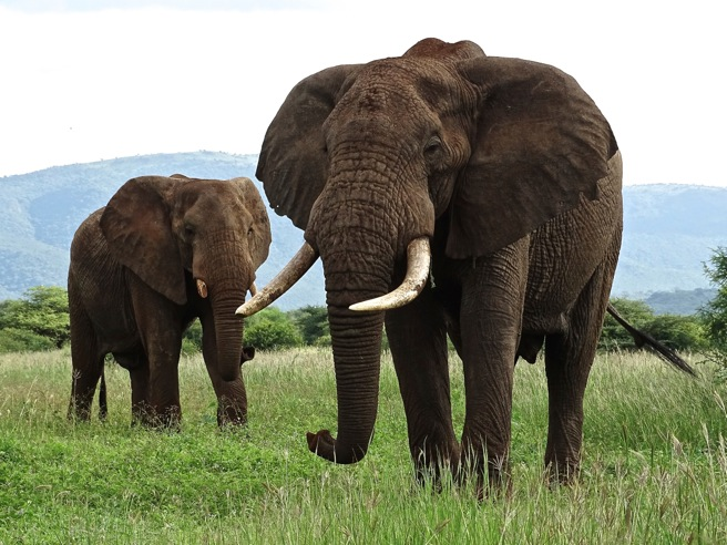 Elephant bulls at Manyara Ranch in Tanzania