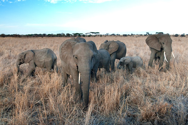 Elephant herd. Photo by Billy Dodson