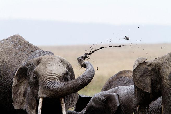Elephant flinging mud photo by: Marius Coetzee/mariuscoetzee.com