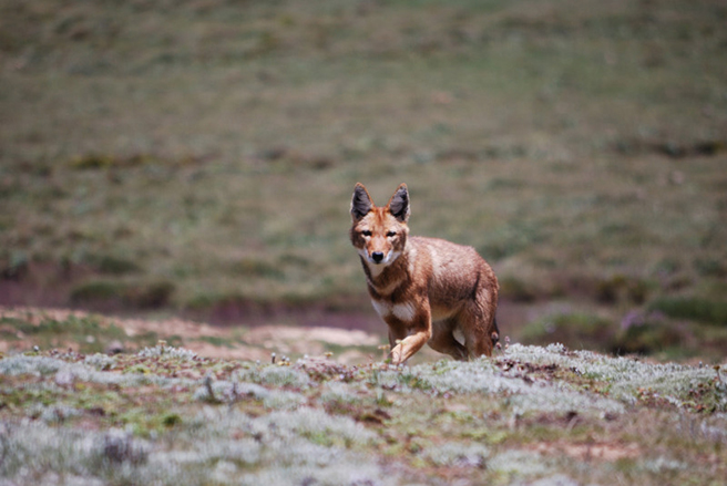 Ethiopian wolf by Chris Gordon