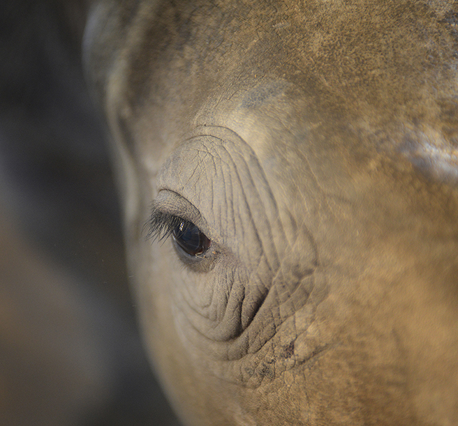 Eye of an orphaned rhino calf at Hluhluwe iMfolozi Park. Photo by: Billy Dodson
