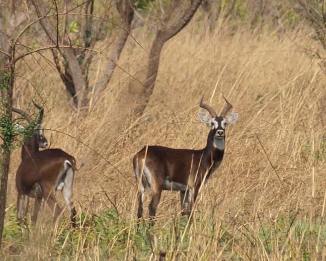 White Eared Kob, South Sudan