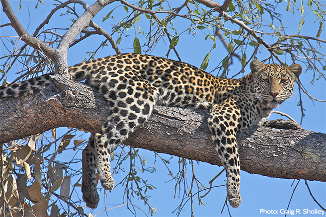 You Can Help This Lounging Leopard Just By Lounging on the Internet
