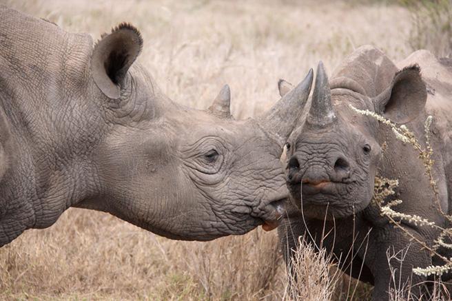 Black rhinos grazing. Photo: Phil Perry Wildlife Photography