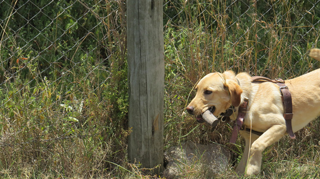 A Kenya Wildlife Service sniffer dog finds rhino horn