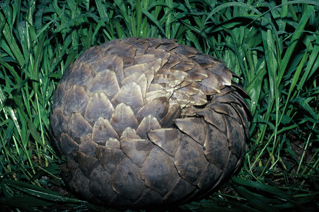 Pangolin curled up in a ball