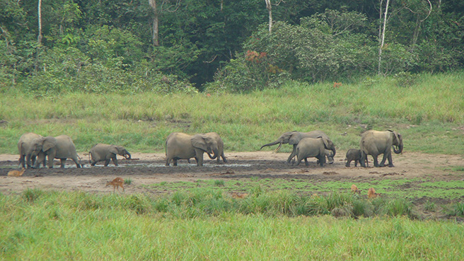 Forest elephants forage at Langoue Bai in Ivindo National, Park, Gabon.