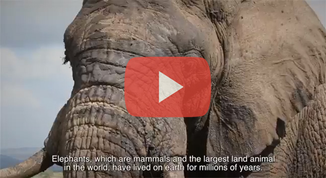 Last hope for elephants video by Celia Ho