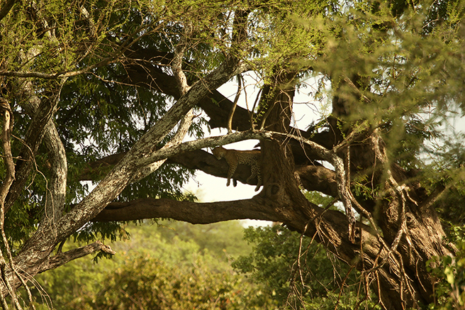 Leopard in a tree on AWF Safari