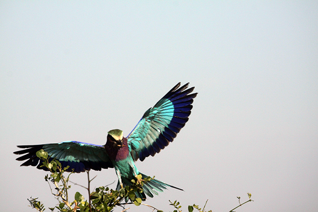 Lilac breasted roller in Tarangire