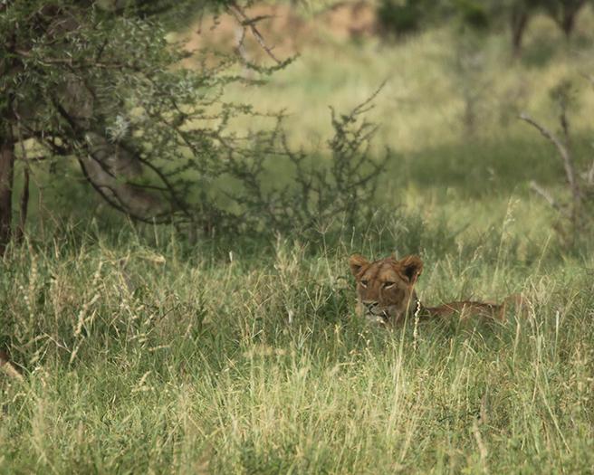 Lion in Tarangire on AWF Safari
