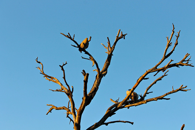 Vultures in a tree in South Africa