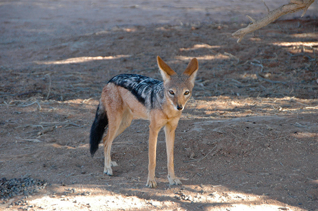 Black backed jackal in Dead Vlei, Namibia