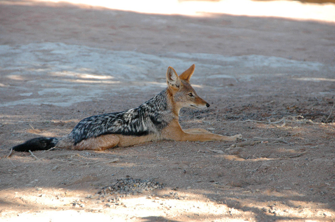 Black backed jackal laying down in Dead Vlei, Namibia