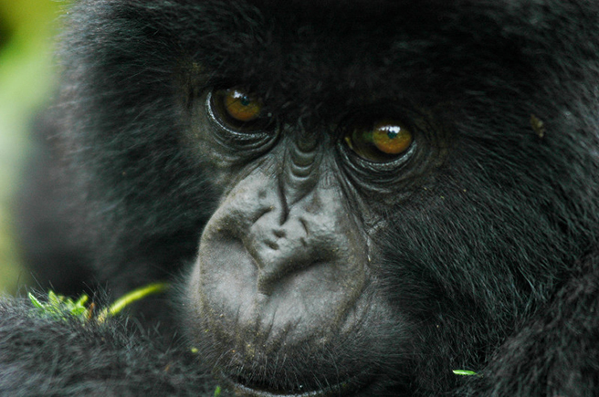 A young mountain gorilla in Virunga. Photo by Maryke Gray